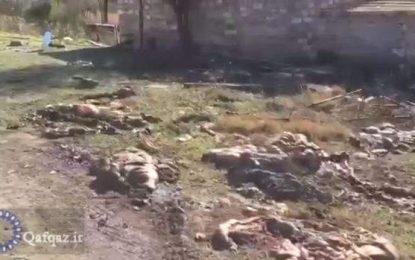 Kəlbəcəri tərk edən ermənilər heyvanları öldürüb, leşlərini əraziyə atırlar – VİDEO